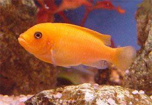 Pseudotropheus Estherae