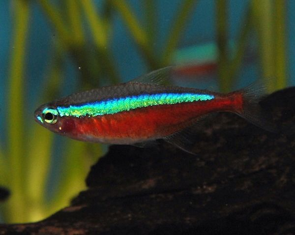 Paracheirodon Axelrodi