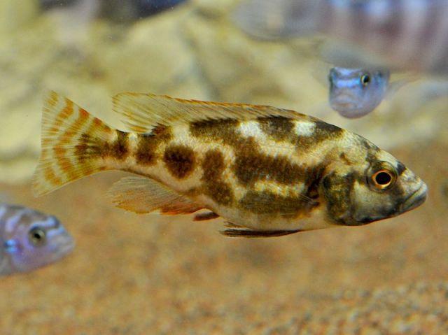 Nimbochromis Llivingstonii