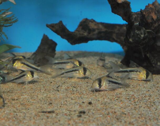 Corydoras Axelrodi