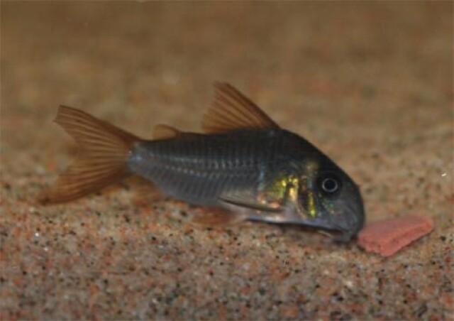 Corydoras Concolor