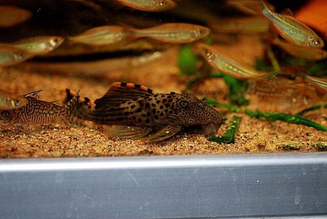 Leporacanthicus Triactis L91